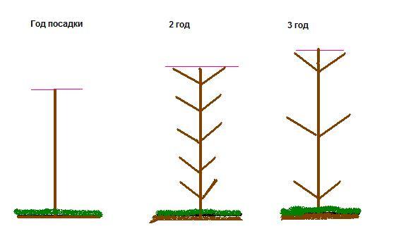 Особенности при выращивании колоновидной яблони 71