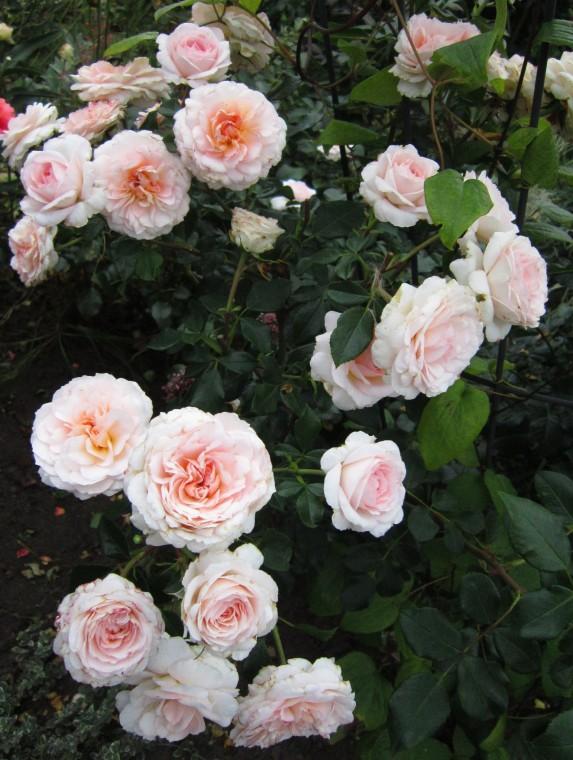 rose schloss eutin schlo eutin shrub rose buy at agel. Black Bedroom Furniture Sets. Home Design Ideas