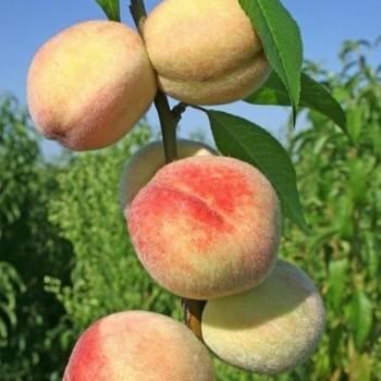 pfirsichbaum krankheiten pfirsichbaum krankheiten erkennen und behandeln pfirsichbaum pfirsich. Black Bedroom Furniture Sets. Home Design Ideas