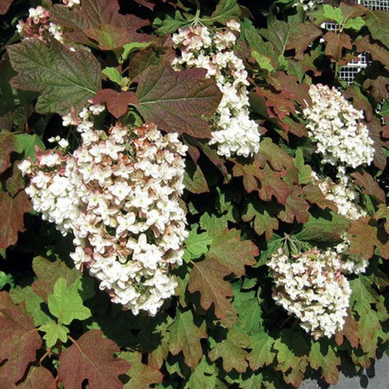 Гортензия: размножение семенами и 77