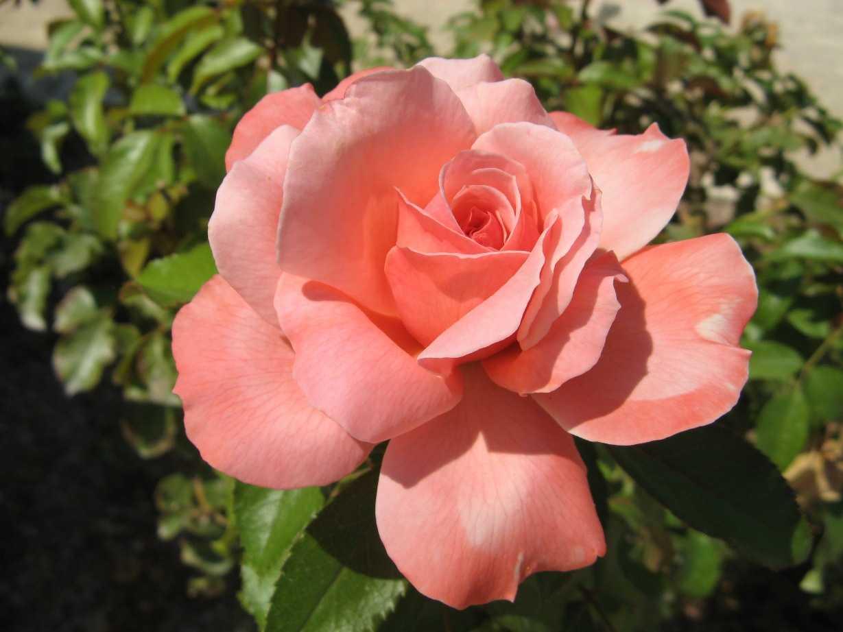 Роза валенсия фото 2