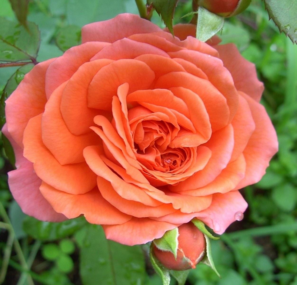 роза быстрым рисунком