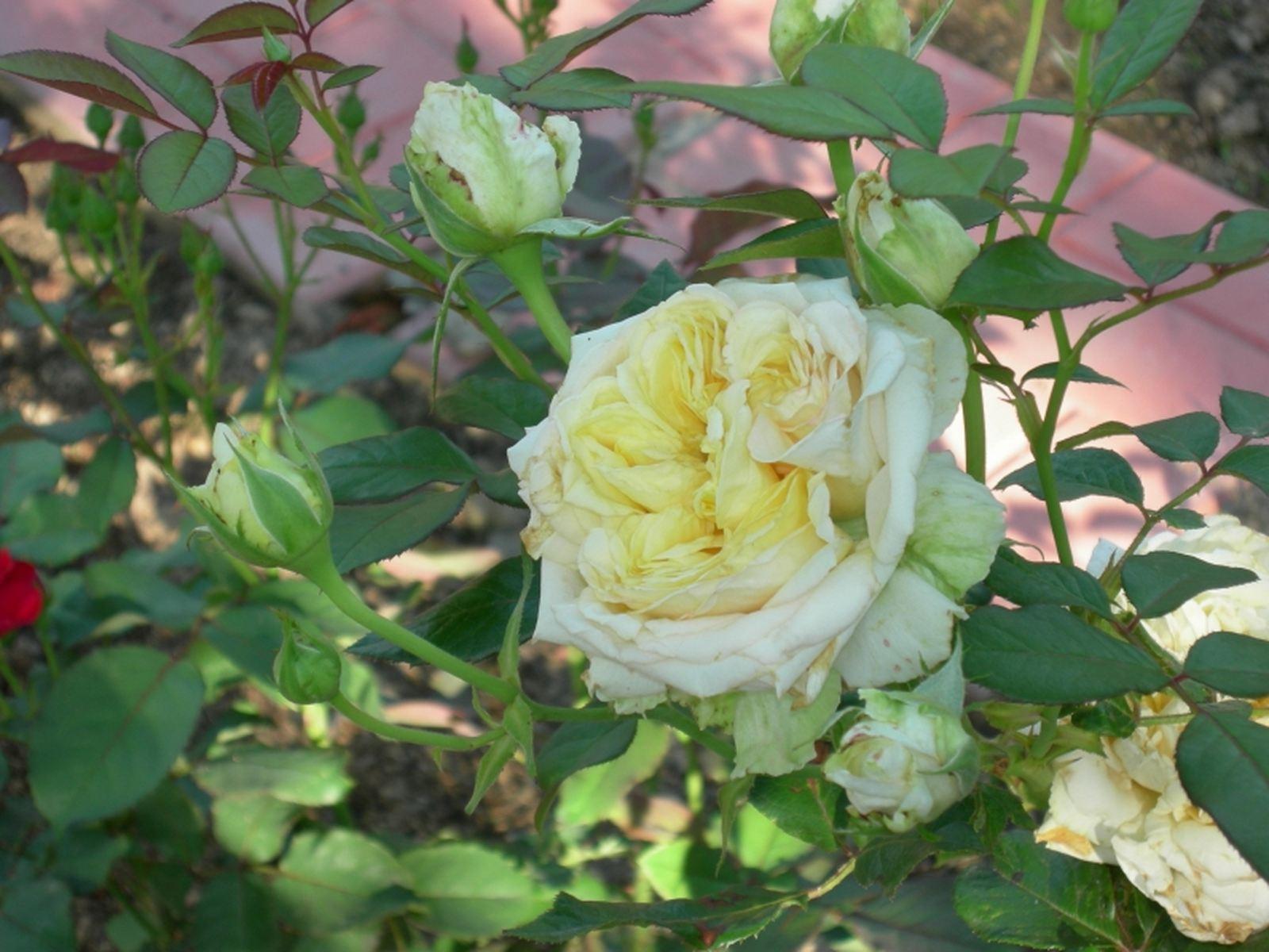 Роза майская фотографии 6