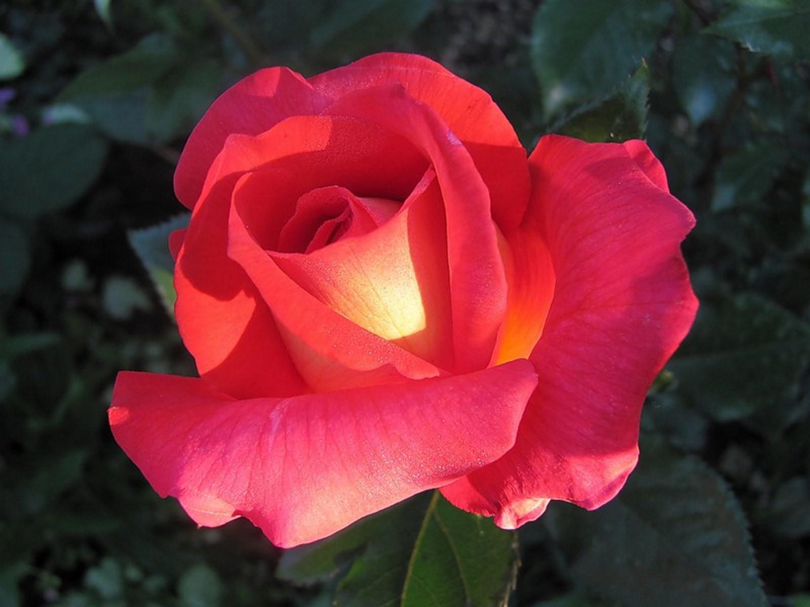 Каталог комнатных цветов, выращиваемых в домашних условиях, особенности 54