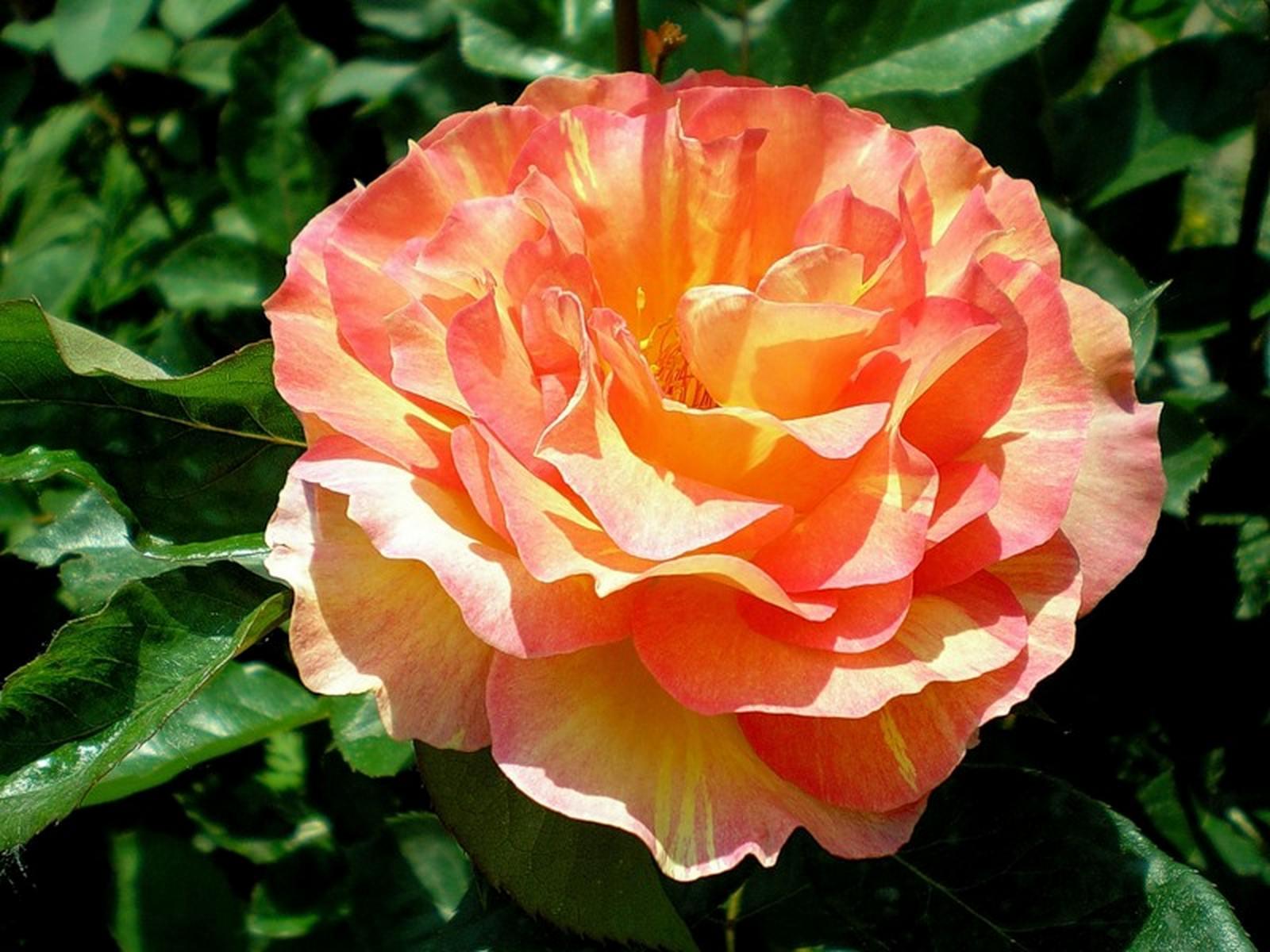 Роза амандин шанель фото 5