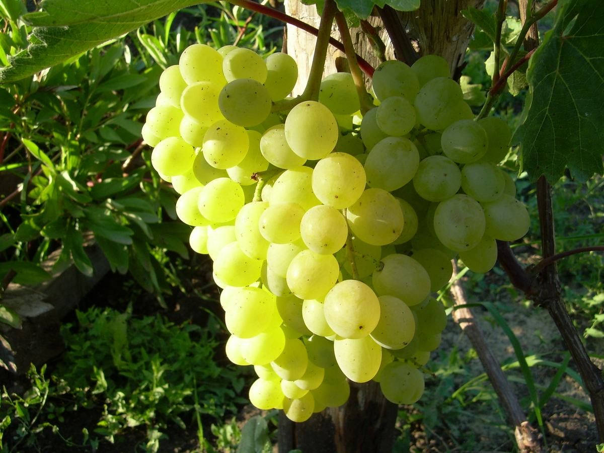 Виноград русбол описание