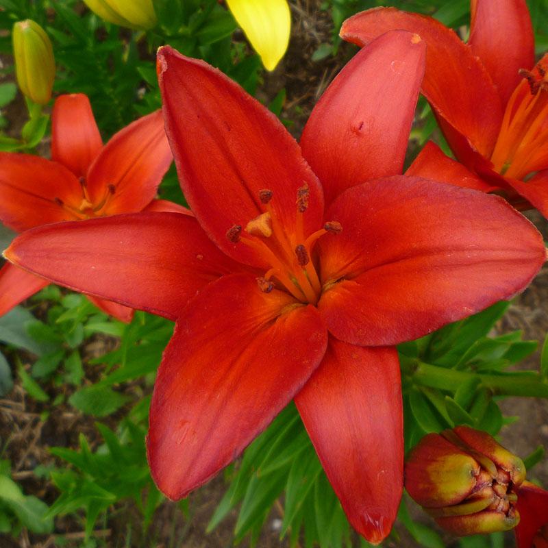 Цветок лилия и уход