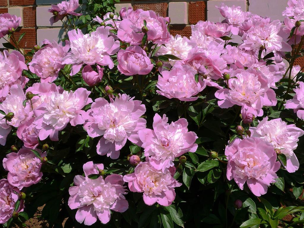 Однолетние розовые цветы название и фото